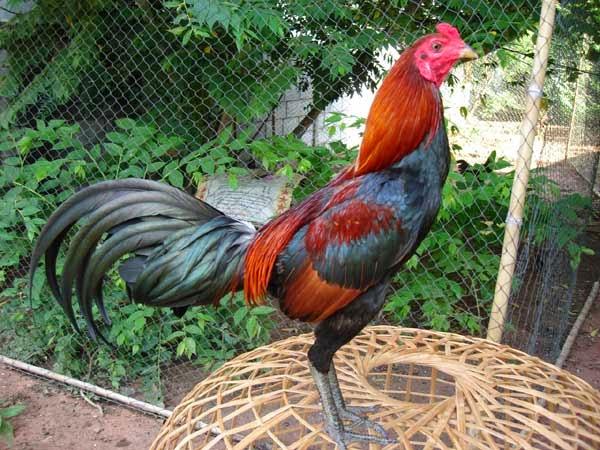 เทคนิคในการไล่แข็งไก่ของไก่พม่า เพราะแตกต่างจากไก่บ้านเรา