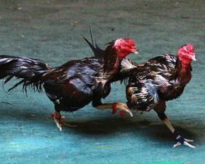 เทคนิคดูไก่ชนแบบขั้นเทพลักษณะไก่ที่ใช้ไม่ได้ เซียนไก่ต้องรู้