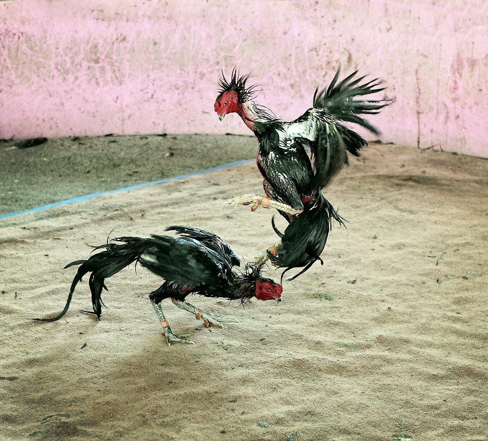 บอกเล่าประสบกาณ์ จากเทคนิคเซียนไก่ ลักษณะไก่ที่ใช้ไม่ได้