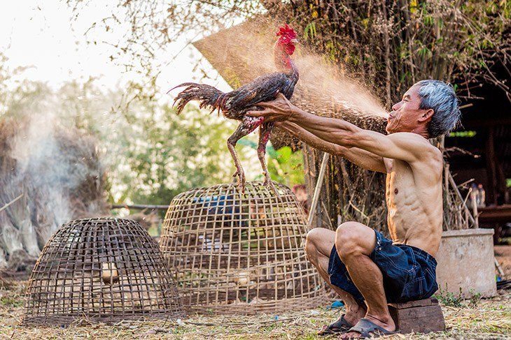 วิธีการรักษาไก่ วิธีการดูแลไก่ และให้น้ำไก่ในขณะที่กำลังชน