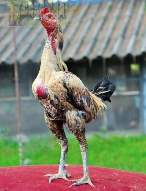 ไก่ชน ราคาไก่ชนที่ค่าตัวแพงที่สุดในประเทศไทยหลายคนต้องตะลึง!