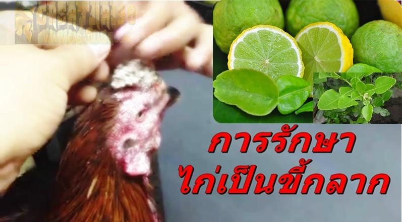 มะกรูด ยอดสมุนไพรไทย คือยาชั้นดีช่วยรักษาไก่เป็นโรคขี้กลาก