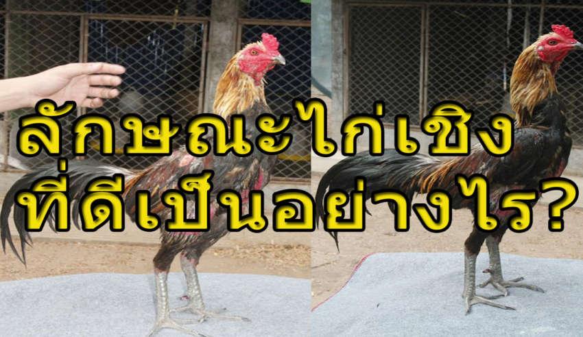 คัดไก่ชนเก่ง ลักษณะไก่เชิงที่ดี เชิงชนต้องมีแผลที่ต้องแม่น