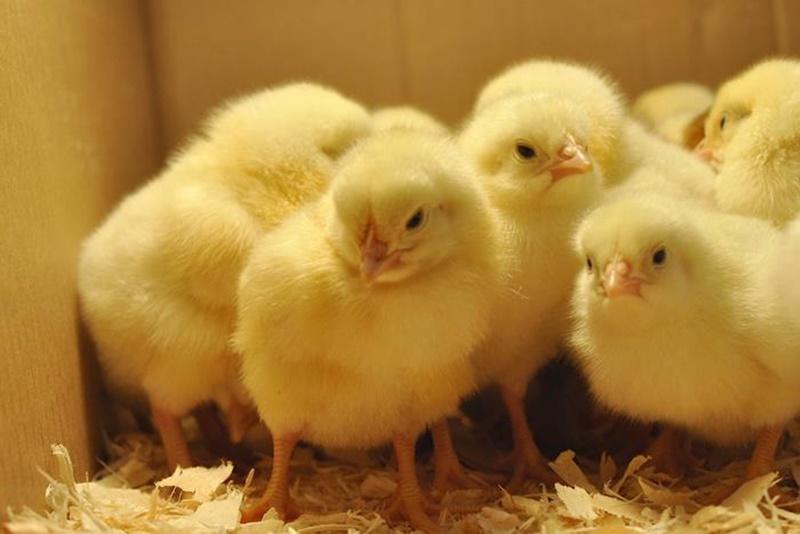 การนำลูกไก่ไปทำสายพันธุ์ การเลี้ยงธุรกิจไก่ชนนิยมสูง กำไรงาม