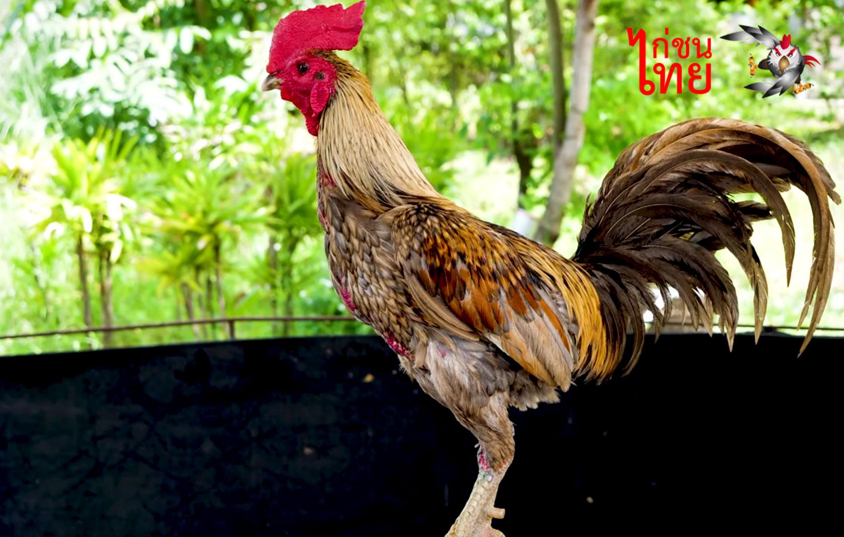 ไก่พม่าที่ไม่ควรเลี้ยงเป็นสายพันธุ์ นักเลี้ยงไก่ชนควรรู้