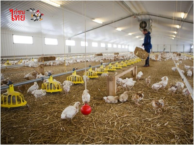วิธีการมือใหม่หัดเลี้ยงไก่ชน การสร้างโรงเรือน ลักษณะที่ดี